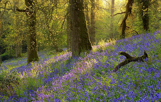 Best bluebell gardens in England