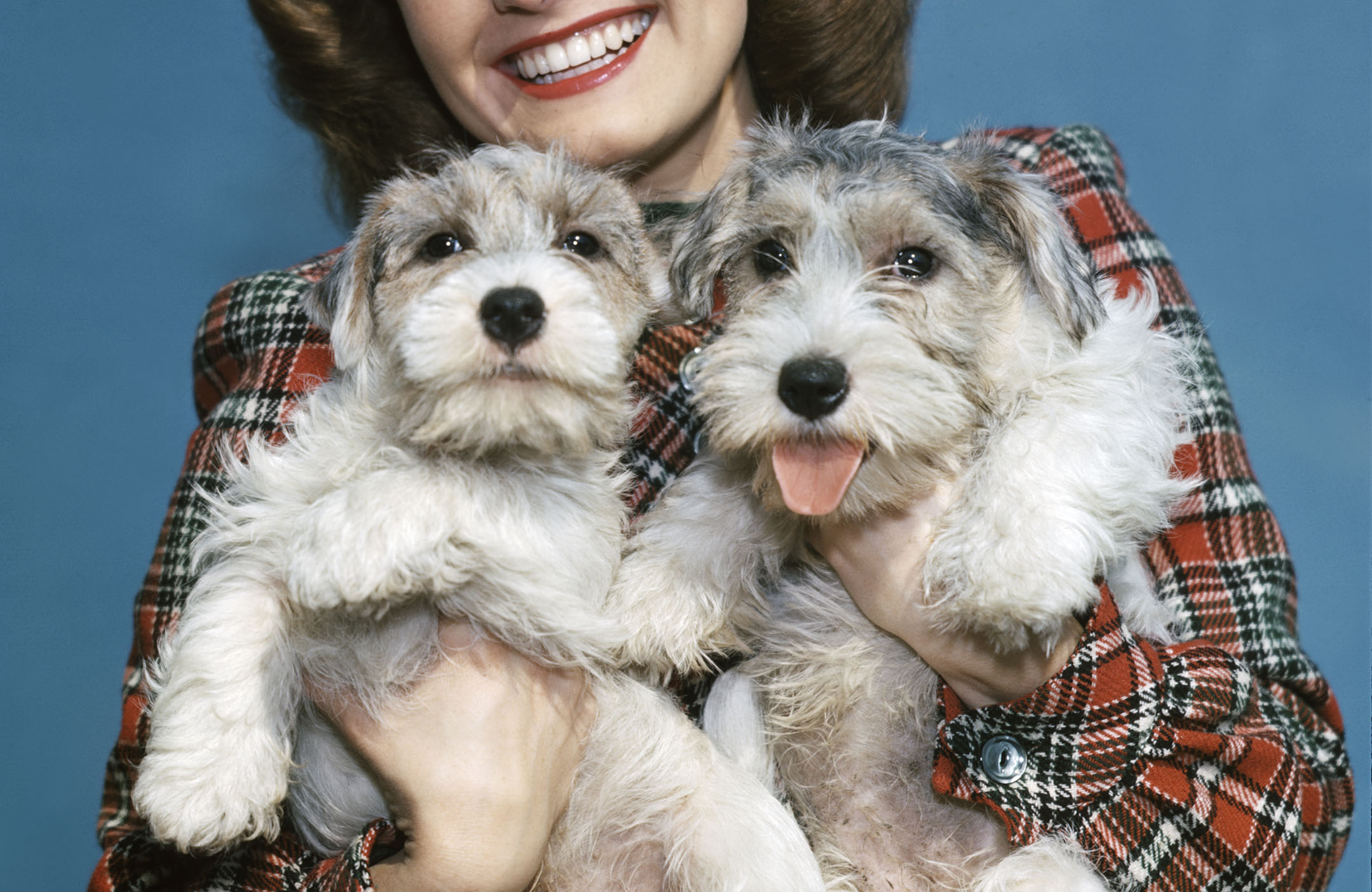Sealyham terriers: The dogs that are small, friendly, full of character and great for families