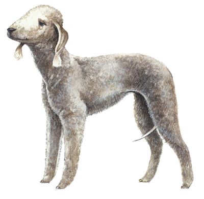 Beddlington terrier