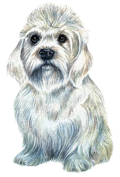 Dandie Dilmont terrier