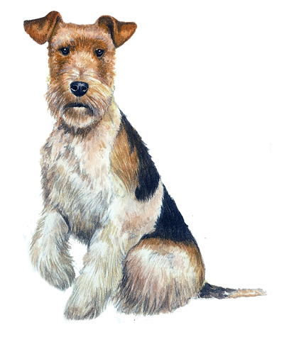 Wired Fox terrier