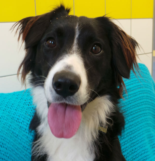 Guide Dog Rehoming >> The second dog of Christmas...Bella the border collie - Country Life
