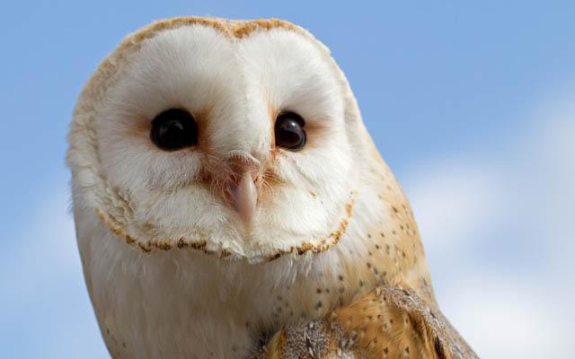 barn owls bounce back