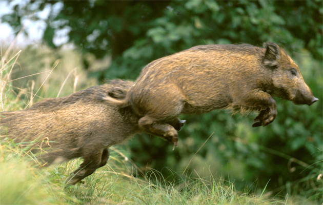 wild boar on the increase in britain country life