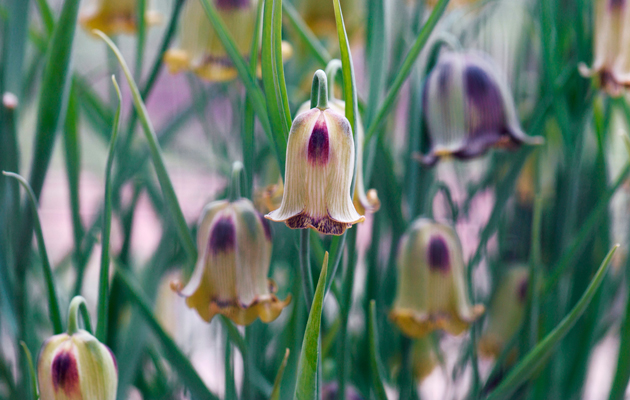 A simple guide to the wildflowers of britain country life how to grow fritillaries mightylinksfo