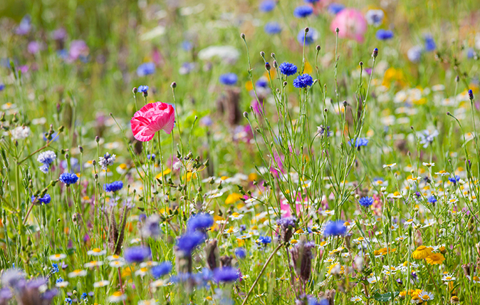 a simple guide to the wildflowers of britain country life - Common Purple Garden Flowers