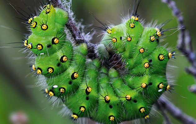 Guide to common caterpillars Country Life