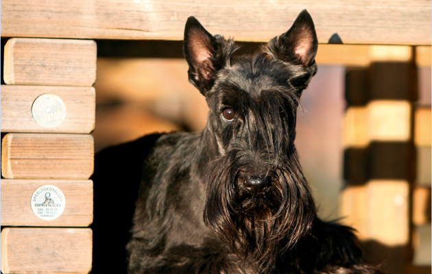 facts about the scottish terrier