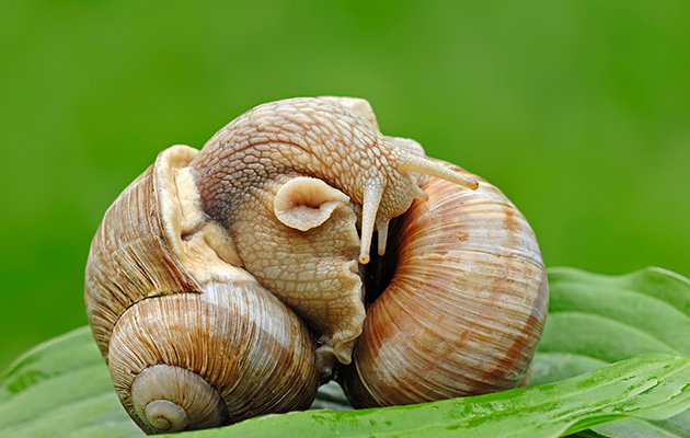 mating ritual of the snail