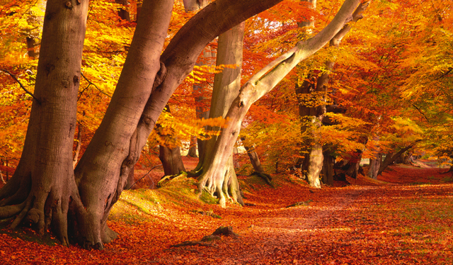 Magnificent beech trees