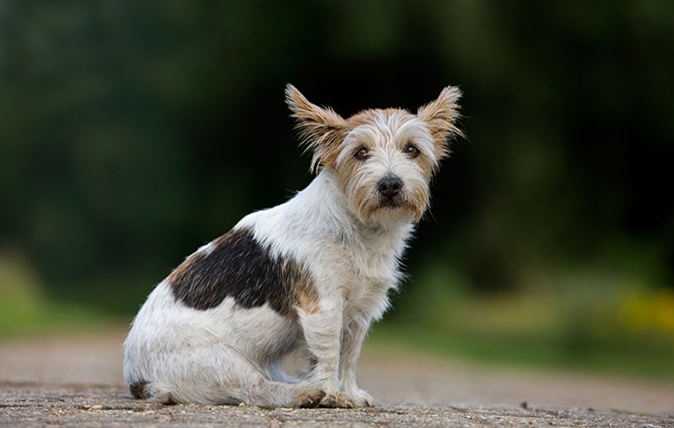Britain's favourite terrier breeds - Country Life