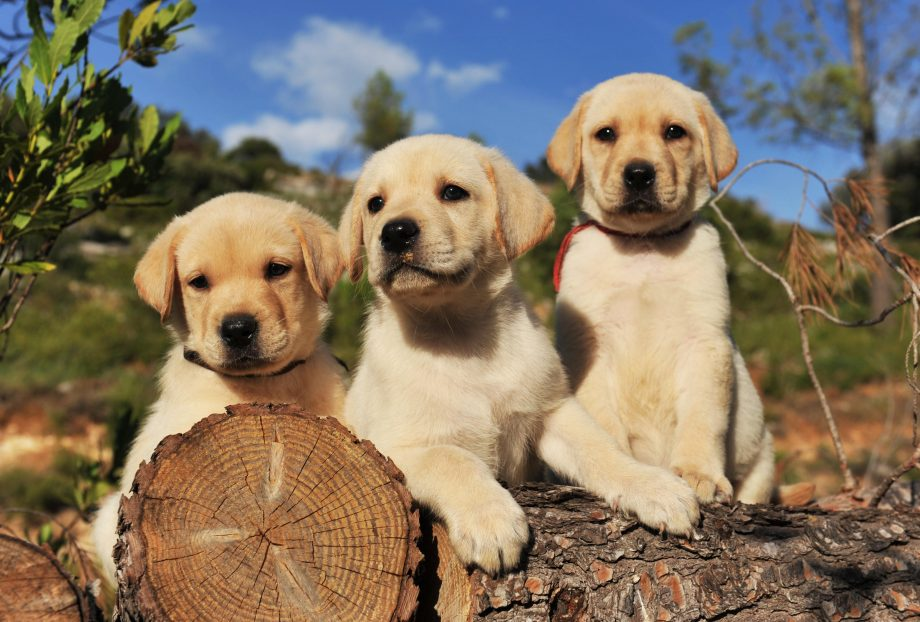 Labrador puppies sitting on a log