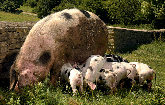 Native British Pig Breeds Country Life