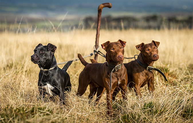 The Patterdale Terrier Country Life