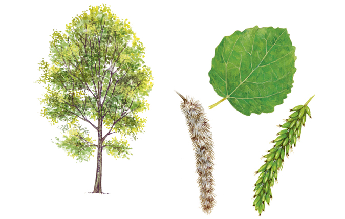A Simple Guide To Identifying British Trees Country Life