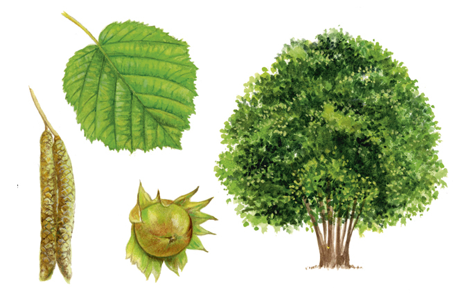 A simple guide to identifying British trees - Country Life