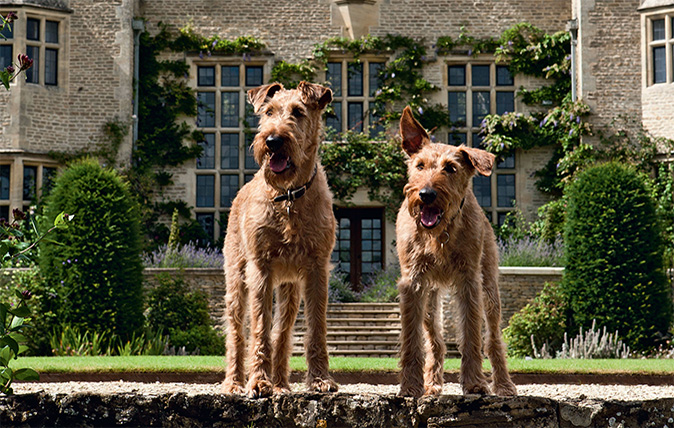 Irish Terrier - Country Life