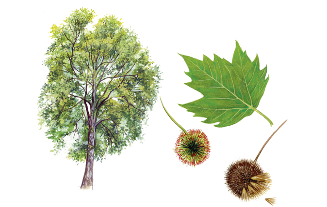 Identifying British Trees