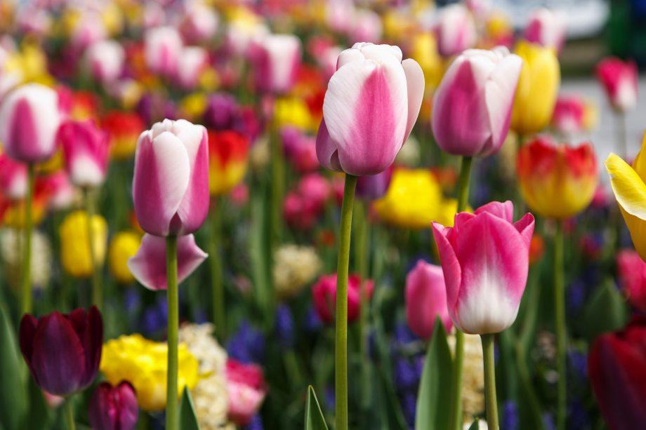 Tulip flowers bloom in a spring garden.