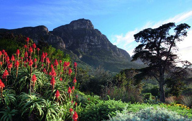 Aloe Aborescens - Krantz Aloe with Table Mountain, Kirstenbosch National Botanical Garden, Cape Town, South Africa / GAP Photos