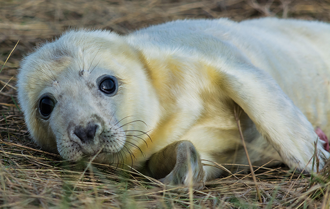Grey seal pup photographed in Lincolnshire
