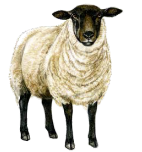 21 Native British Sheep Breeds And How To Recognise Them