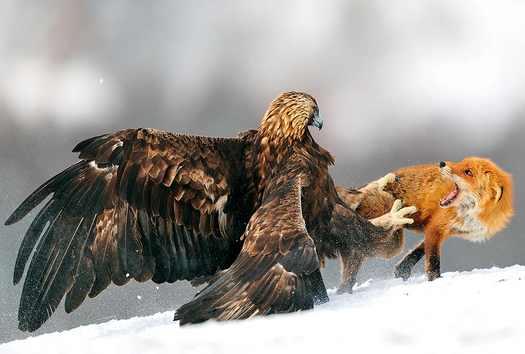 Golden Eagle Being Hared By Chihuahuan Ravens San Rafael Grlands Santa Cruz Co Arizona