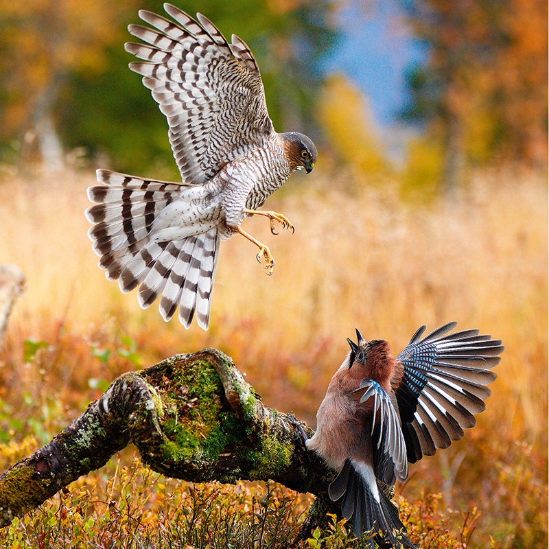 Britain's birds of prey: The Country Life guide to raptors