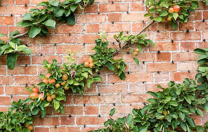 Diagonally espaliered apple trees on a red brick wall of an English garden