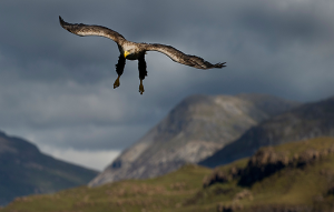 Male White-tailed Sea Eagle swooping over Loch Na Keal, with Ben More in the background, Isle of Mull, Scotland