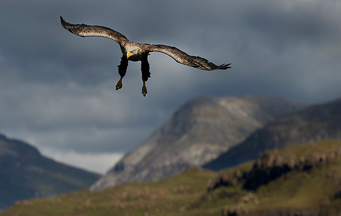 Male White Tailed Sea Eagle Swooping Over Loch Na Keal With Ben More In