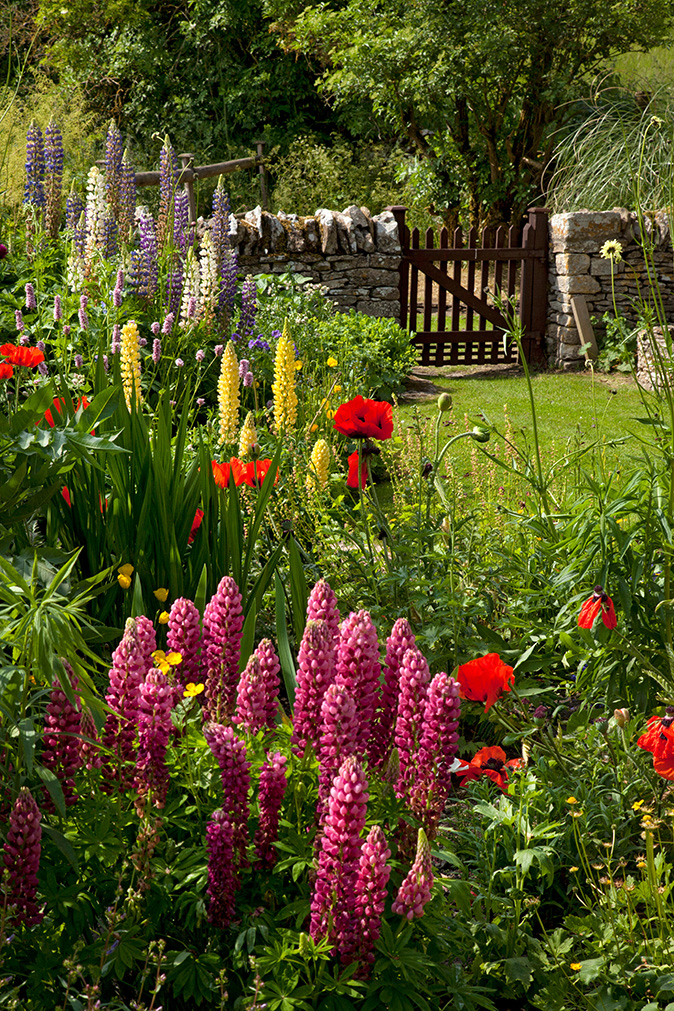 English Country Garden With Lupins Poppies Dry Stone Wall And Wooden Gate In Oxfordshire