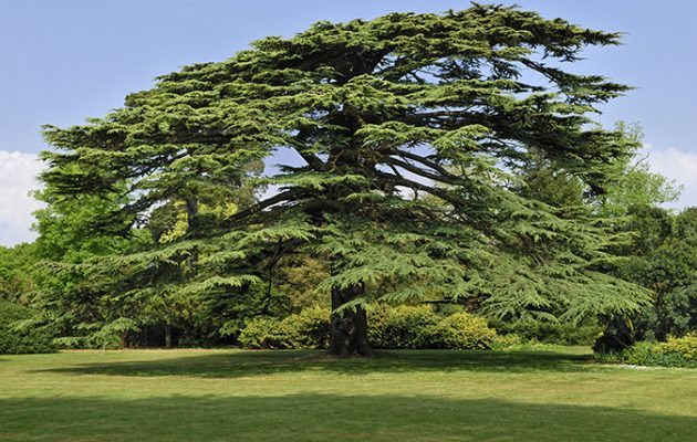Image result for Cedar of lebanon tree