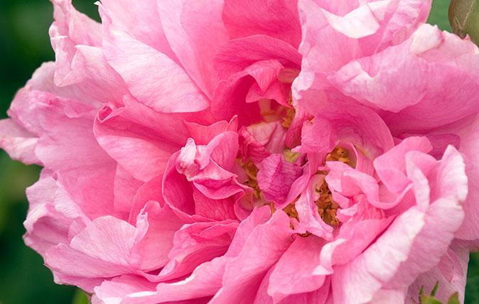 Rose - R. x francofortuna