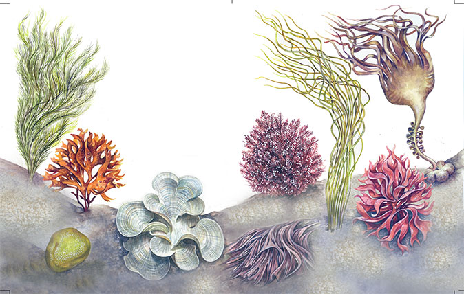 A Simple Guide To The Seaweed Of Britain How To Spot It