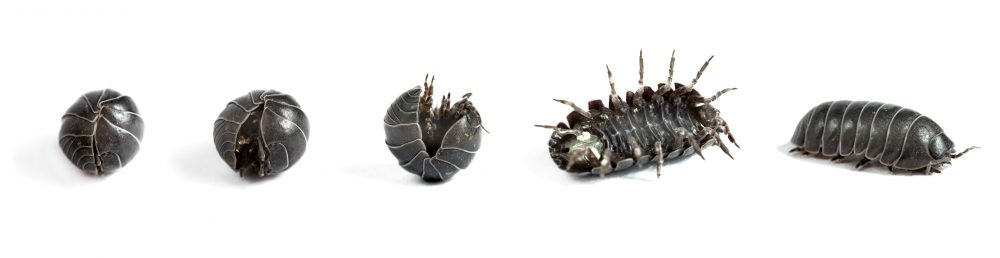 The Bizarre World Of Woodlice Seven Pairs Of Lungs And