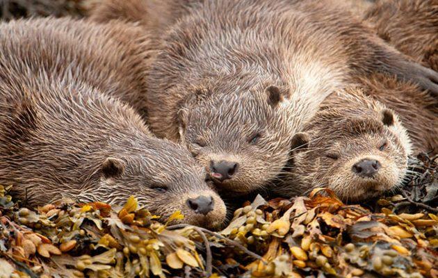European River Otter (Lutra lutra) mother and pups sleeping, Shetland Islands, Scotland