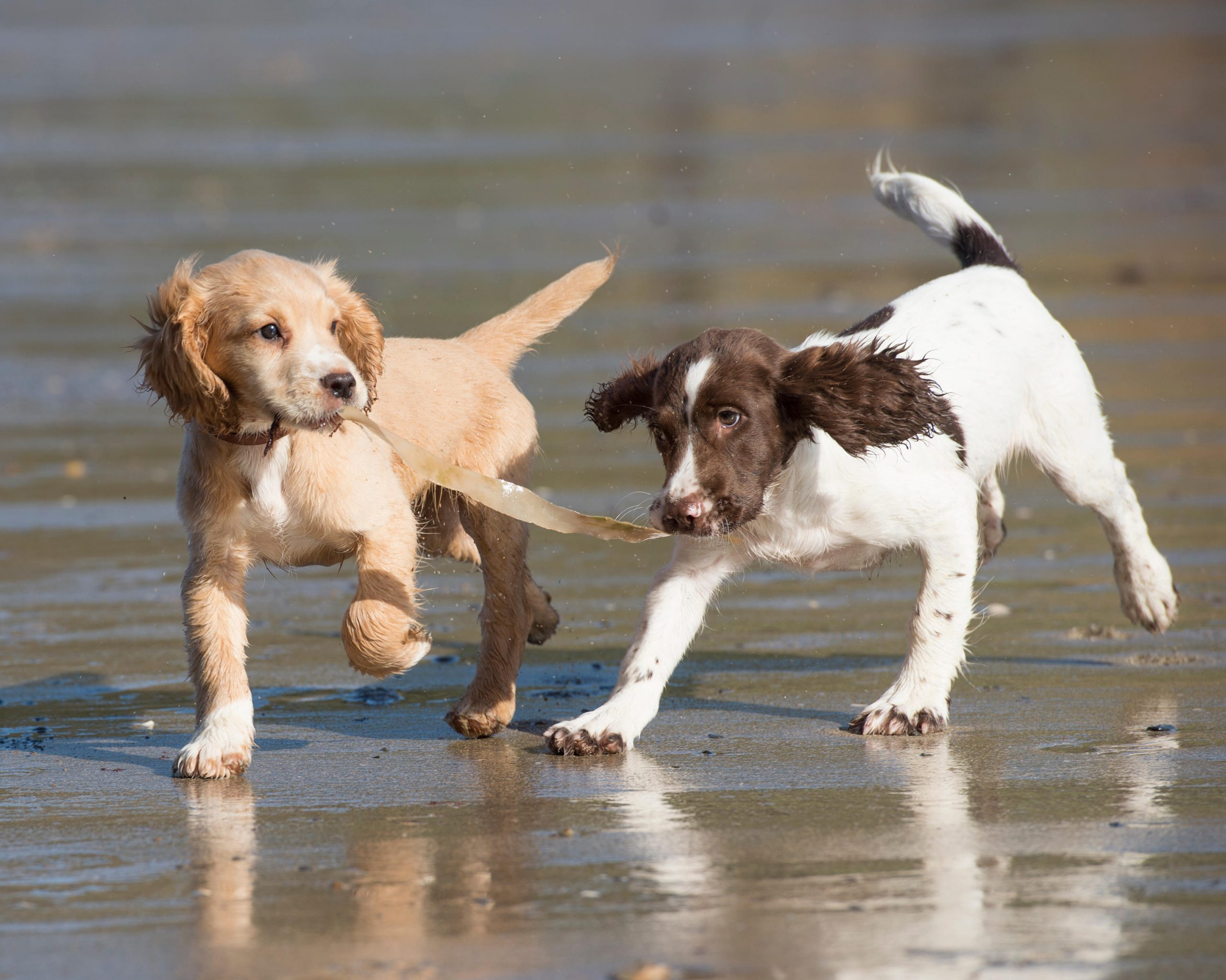 Cocker Spaniel Vs Springer Spaniel What Owners Need To Know Country Life