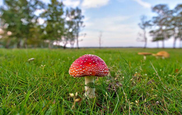 Mushroom - Amanita muscaria