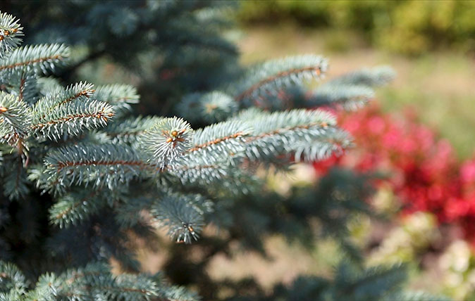 Growing your own Christmas tree: Alan Titchmarsh on what to plant and where to plant it