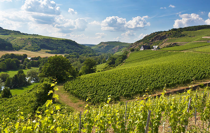 Grapes grow on vines at a Nahe Valley vineyard in Germany