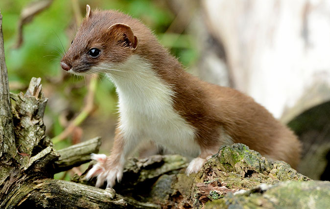 13 things you never knew about weasels, from taking on