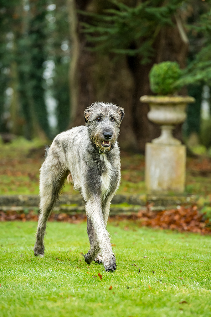 The Irish Wolfhound Why The Archetypal Gentle Giant Was