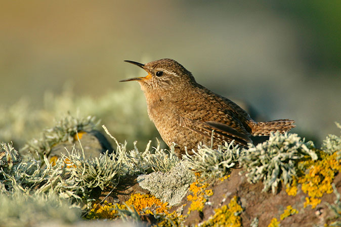 The wren: 8 things you ought to know about Britain's most