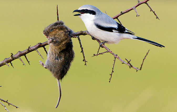 Great grey shrike with impaled mouse