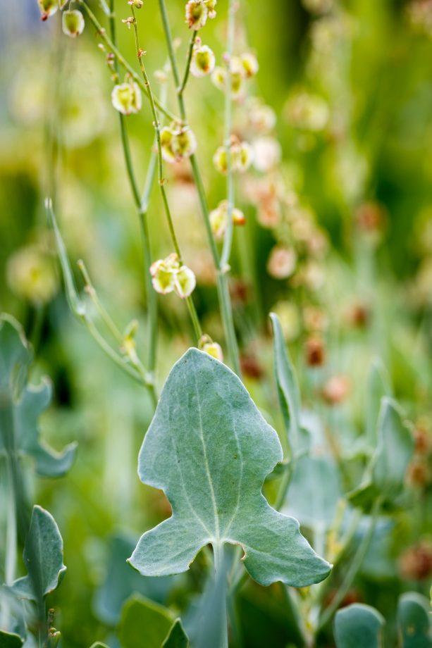 Buckler Leaf Sorrel - aka rumex scutatus.