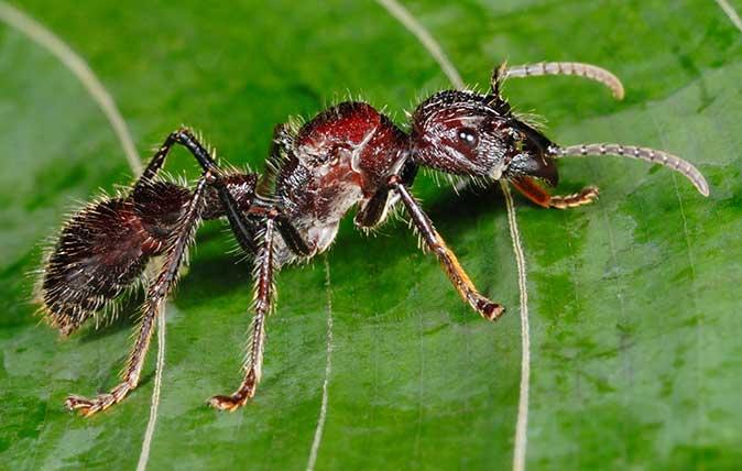 Photo by FLPA/Hugh Lansdown/REX/Shutterstock –Bullet Ant (Paraponera clavata) adult, standing on leaf in rainforest, Tortuguero N.P., Limon Province, Costa Rica