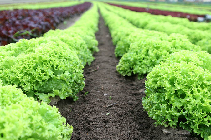 The delicious salad leaves to try in your garden that keep on giving with 'cut and grow'