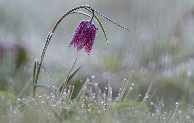 Purple Snake's head fritillary (Fritillaria meleagris) with hoar frost