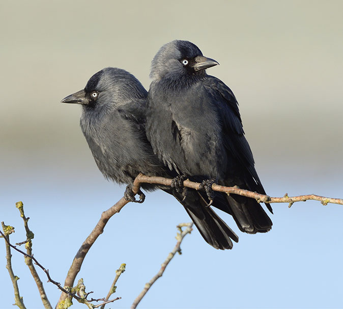 11 things you never knew about the jackdaw, the bird that just loves